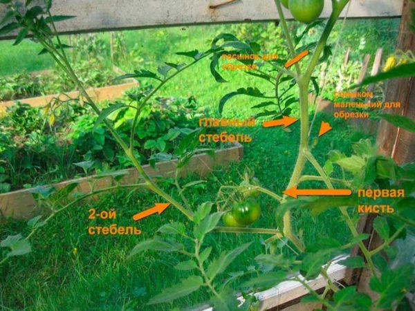 Схема удаления лишних побегов на помидорах