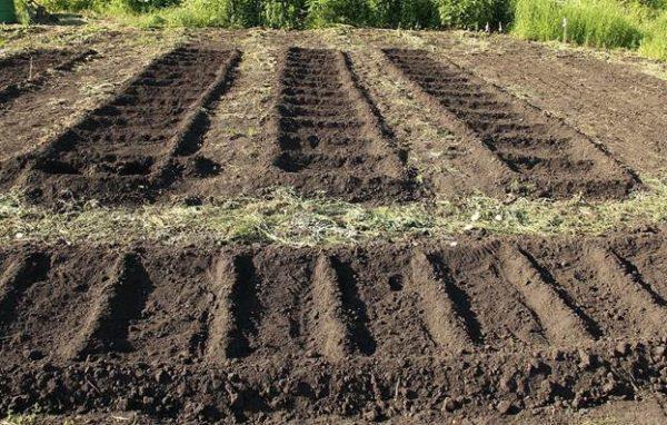 Огурцы не всходят на слишком сухом грунте