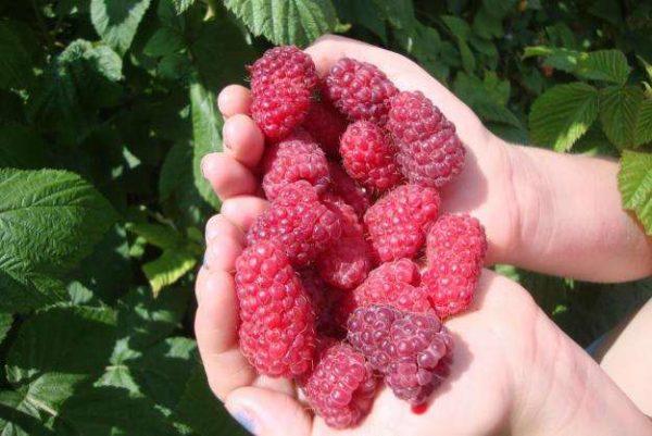 Крупные плоды малины краса России