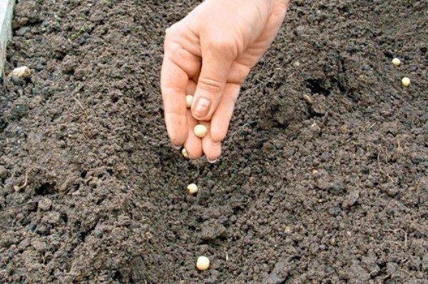 Сроки посадки гороха в открытый грунт зависят от климата местности