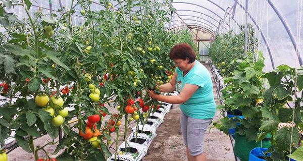 Огурцы и томаты лучше отгородить друг от друга