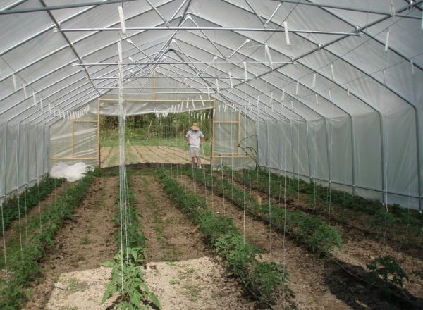 Сроки для посадки томатов