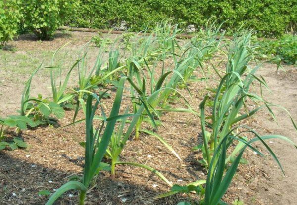 После чеснока, на следующий год высаживают огурцы